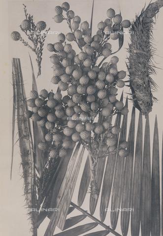 BAF-L-005915-0001 - Daemonorops Jenkinsianus - Data dello scatto: 1920 - Archivi Alinari, Firenze