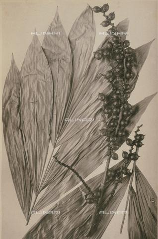 BAF-L-006174-0062 - Calamus Trispermus - Data dello scatto: 1920 - Archivi Alinari, Firenze