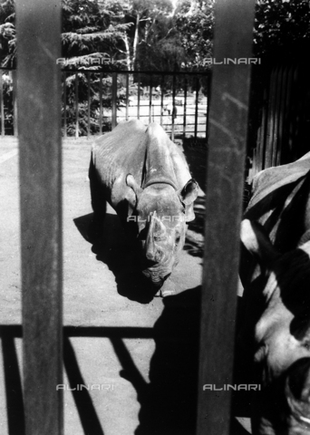 BAQ-A-001052-0041 - Rhinocerous behind the bars of an enclosure in the zoological garden of Johannesburg