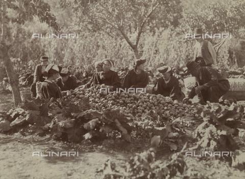 BAQ-F-001231-0000 - Contadini durante la raccolta della frutta - Data dello scatto: 1903 - Raccolte Museali Fratelli Alinari (RMFA), Firenze