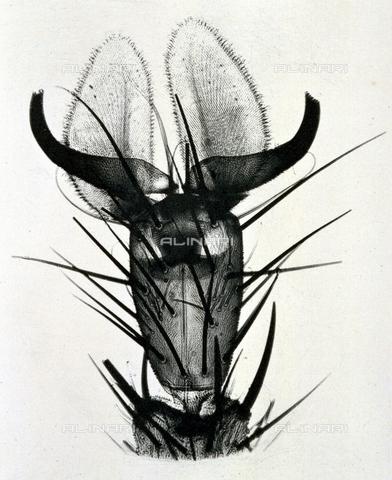 BFB-S-000899-0272 - Ingrandimento di una zampa di mosca - Data dello scatto: 1899 ca. - Archivi Alinari, Firenze