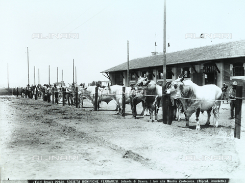 BGA-F-022601-0000 - Bulls at a livestock exhibit in Jolanda di Savoia, province of Ferrara