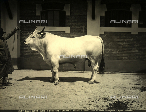 BGA-F-022602-0000 - Close-up of a bull at a l