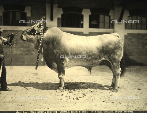 BGA-F-022603-0000 - Close-up of a bull at a l