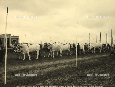 BGA-F-022605-0000 - Bulls at a livestock exhibit in Jolanda di Savoia, province of Ferrara