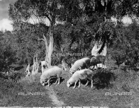 BGA-F-023076-0000 - A dog watching keeping watch over a flock in the environs of Rome.