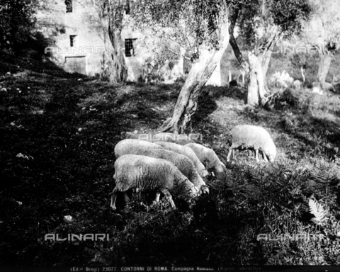 BGA-F-023077-0000 - Sheep out to pasture, near a country house on the outskirts of Rome.