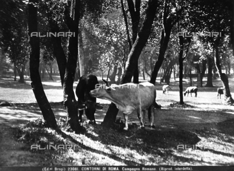 BGA-F-023081-0000 - Some cows out to pasture in the woods on the outskirts of Rome.