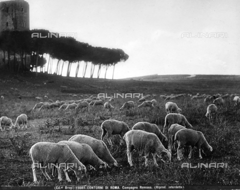 BGA-F-023085-0000 - A flock of sheep out to pasture in the Roman countryside. A tower can be seen through the pine trees in the background.
