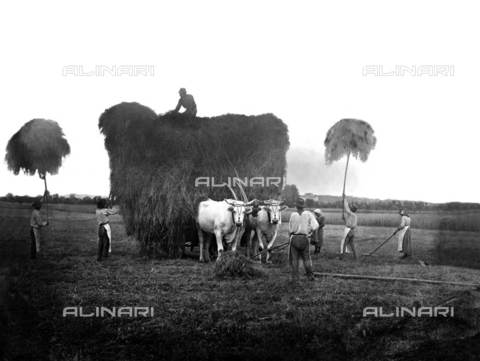 BGA-F-023250-0000 - Forage being gathered on the estate of Santa Caterina in Cortona