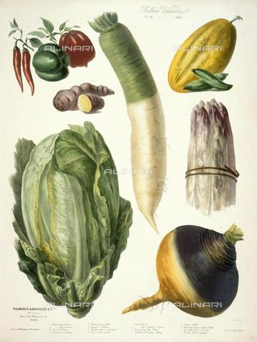 "BLB-F-002297-0000 - Various types of vegetables, including a cabbage, peppers and turnip from ""Album Vilmorin"" printed by E. Champin and Mlle Coutance by Pierre Lévêque de Vilmorin (Paris, 1850), N.Tab.2004 / 11, plate 10, British Library , London - The British Library Board/Alinari Archives, Florence"