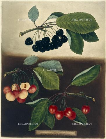 "BLB-F-002333-0000 - Cherries, from Brookshaw's ""Pomona Britannica"", George (London, 1802), 10.Tab.41, plate 10, British Library, London - The British Library Board/Alinari Archives, Florence"