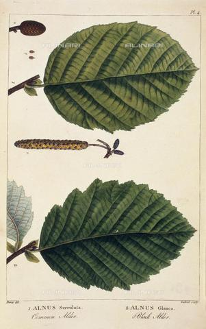 "BLB-F-003510-0000 - Leaves of the alder, from ""Histoire des Arbres Forestiers de l'Amérique Sept nord"" (Paris, 1810 -1813), 448.f.21 volume 3, 4, British Library, London - The British Library Board/Alinari Archives, Florence"