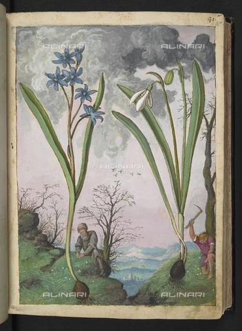 """BLB-S-22332F-035R - Un botanico e un uomo che raccoglie fiori ai piedi di un esemplare di Galanthus (Bucaneve) e di un Ipheion, disegno da Gli """"Stati Romani"""" di Gherardo Cybo (o Cibo), pubblicato in """"De Re Medica"""" di Pietro Andrea Mattioli, British Library, Londra - The British Library Board/Archivi Alinari, Firenze"""