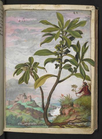 """BLB-S-22332F-037R - Esemplare di Daphnoides o Daphne Laureola e un botanico che raccoglie piante su un fianco di una montagna, sullo sfondo una città fortificata con un fiume, disegno da Gli """"Stati Romani"""" di Gherardo Cybo (o Cibo), pubblicato in """"De Re Medica"""" di Pietro Andrea Mattioli, British Library, Londra - The British Library Board/Archivi Alinari, Firenze"""