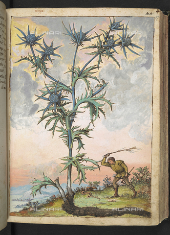 "BLB-S-22332F-047R - Exemplary of Euphrasia officinalis or 'Eringio' (Euphrasia), at the foot of the plant a man who strikes a snake with a branch, drawing from the ""Roman States"" by Gherardo Cybo (or Cibo), published in ""De Re Medica"" by Pietro Andrea Mattioli, British Library, London - The British Library Board/Alinari Archives, Florence"