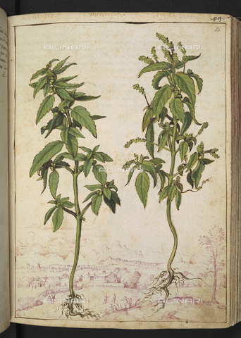 "BLB-S-22332F-056R - Specimens of Mercurialis annua or Mercorella comune (annual mercury). In the background a landscape, drawing by the ""Roman States"" by Gherardo Cybo (or Cibo), published in ""De Re Medica"" by Pietro Andrea Mattioli, British Library, London - The British Library Board/Alinari Archives, Florence"