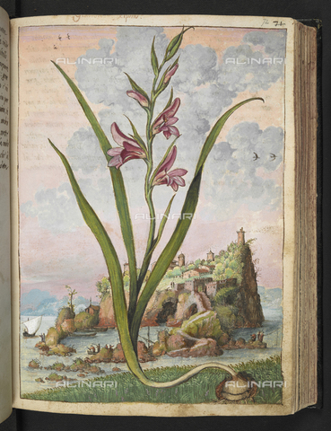 "BLB-S-22332F-072R - Specimen of Gladiolus Italicus known as Gladiolus Xiphio (common sword-lily). On the background bay with a rocky island, drawing by the ""Roman States"" by Gherardo Cybo (or Cibo), published in ""De Re Medica"" by Pietro Andrea Mattioli, British Library, London - The British Library Board/Alinari Archives, Florence"