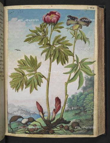 """BLB-S-22332F-085R - Esemplare di Paeonia o """"Peonia Rossa"""" (peonia selvatica). Sullo sfondo un villaggio, disegno da gli """"Stati Romani"""" di Gherardo Cybo (o Cibo), pubblicato in """"De Re Medica"""" di Pietro Andrea Mattioli, British Library, Londra - The British Library Board/Archivi Alinari, Firenze"""