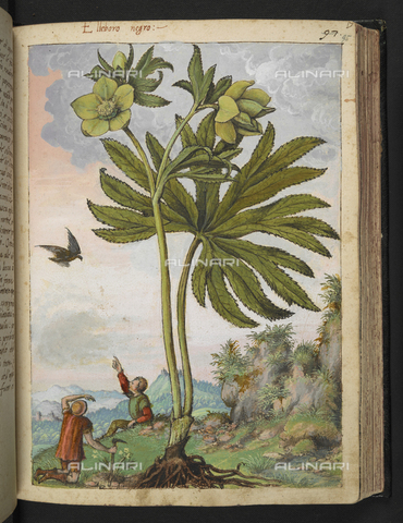 "BLB-S-22332F-095R - Specimen of Helleborus viridis or Helleborus black (Helleborus verde), below two children on a hill, drawing by the ""Roman States"" by Gherardo Cybo (or Cibo), published in ""De Re Medica"" by Pietro Andrea Mattioli, British Library, London - The British Library Board/Alinari Archives, Florence"