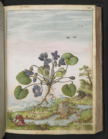 "BLB-S-22332F-104R - Specimen of Viola odorata or Viola. Below a peasant woman who collects plants, a stream and a dam, drawing from the ""Roman States"" by Gherardo Cybo (or Cibo), published in ""De Re Medica"" by Pietro Andrea Mattioli, British Library, London - The British Library Board/Alinari Archives, Florence"