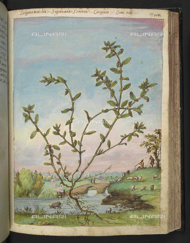 "BLB-S-22332F-111R - Specimen of Galium cruciatum (Mugwort). In the background a river, shepherds and a flock of sheep, drawing by the ""Roman States"" by Gherardo Cybo (or Cibo), published in ""De Re Medica"" by Pietro Andrea Mattioli, British Library, London - The British Library Board/Alinari Archives, Florence"