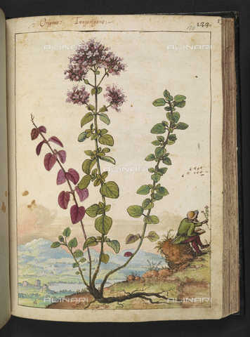 "BLB-S-22332F-130R - Specimen of Origanum or Tragorigano. On the right a botanist who studies a plant, drawing by the ""Roman States"" by Gherardo Cybo (or Cibo), published in ""De Re Medica"" by Pietro Andrea Mattioli, British Library, London - The British Library Board/Alinari Archives, Florence"