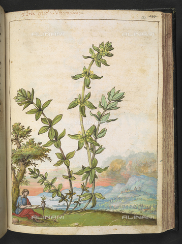 "BLB-S-22332F-131R - Man who designs a copy of Poligonum aviculare also called Corregiola (Polygon male Sanguinaria Seminale Coregiola centonodi), drawing by the ""Roman States"" by Gherardo Cybo (or Cibo), published in ""De Re Medica"" by Pietro Andrea Mattioli, British Library, London - The British Library Board/Alinari Archives, Florence"