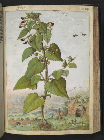 "BLB-S-22332F-133R - Exemplary of Scrophularia nodosa also called Galiopsi (Castagnola). Ruined buildings in the background, drawing by the ""Roman States"" by Gherardo Cybo (or Cibo), published in ""De Re Medica"" by Pietro Andrea Mattioli, British Library, London - The British Library Board/Alinari Archives, Florence"