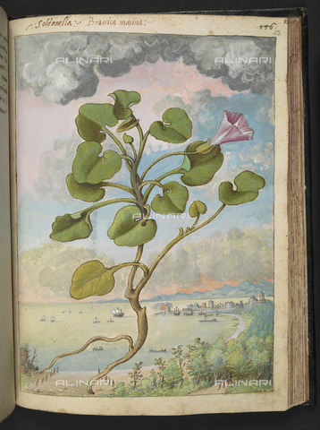 "BLB-S-22332F-150R - Exemplary of Callystegia soldanella also known as Soldanella Brassica marina (Convolvulus or Convolvolo costiero). On the background coastal landscape, drawing by the ""Roman States"" by Gherardo Cybo (or Cibo), published in ""De Re Medica"" by Pietro Andrea Mattioli, British Library, London - The British Library Board/Alinari Archives, Florence"