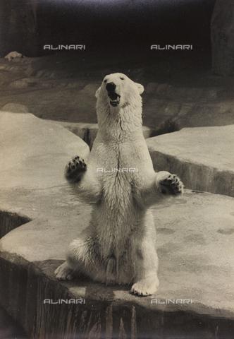 """BVA-A-004049-0039 - Album """"Parigi (giugno-luglio 1936)"""": orso polare di uno zoo di Parigi"""