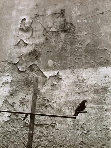 BVA-F-000071-0000 - Pigeon