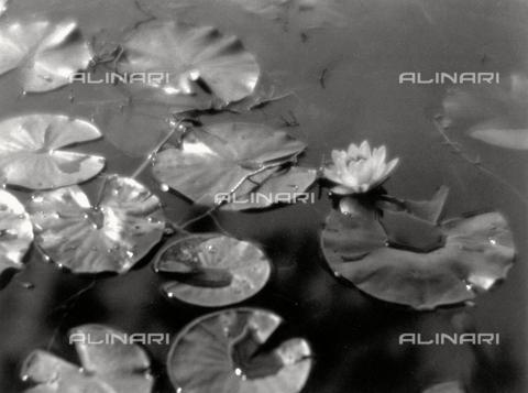 BVA-F-000139-0000 - Ninfee adagiate in uno specchio d'acqua. Gocce ricoprono le foglie, sulle quali si riflettono i raggi solari.
