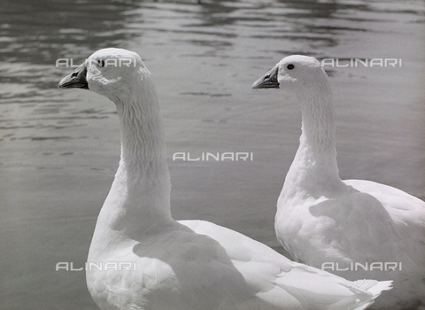 BVA-F-000249-0000 - Two ducks