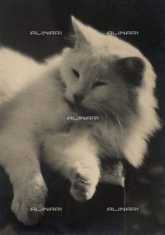 BVA-F-000512-0000 - Persian cat dozing on a chair. Postcard sent by the author to Vincenzo Balocchi