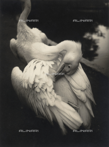 BVA-F-000537-0000 - A swan cleaning its feathers. Postcard sent by the author to Vincenzo Balocchi
