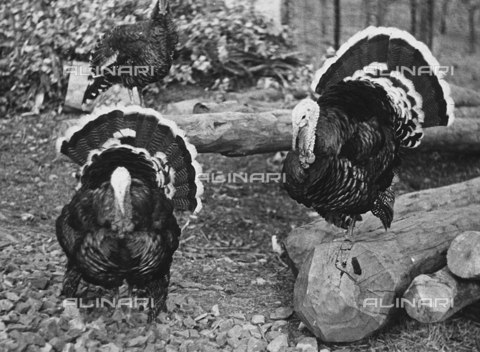 BVA-F-000671-0000 - Two turkeys in the barnyard