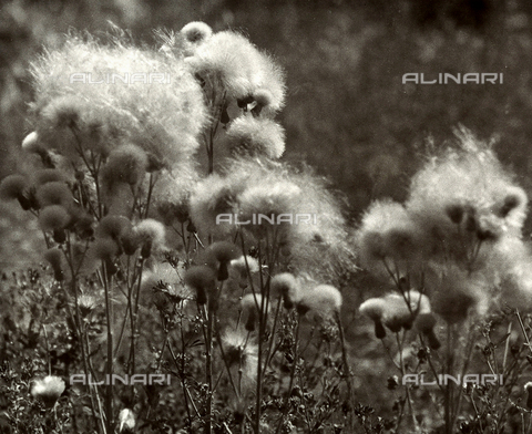BVA-F-000752-0000 - Wild flowers spreading their spores in the wind in a field.