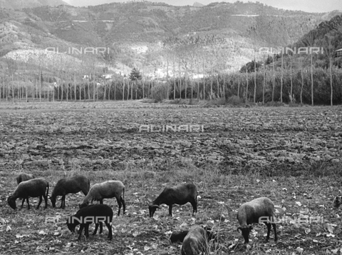 BVA-F-000788-0000 - Rams on the pasture