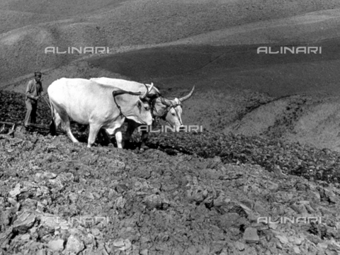 BVA-F-001182-0000 - Pair of oxen yoked for plowing. In the foreground large clods of earth. In the background the plowed fields - Date of photography: 1955 - Alinari Archives-Balocchi archive, Florence