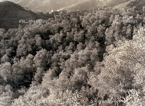 BVA-F-001266-0000 - Panorama of an olive grove near Chiavari - Date of photography: 1950 ca. - Alinari Archives-Balocchi archive, Florence
