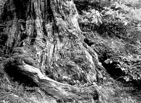 BVA-F-001271-0000 - Large trunk covered with moss and small ferns - Date of photography: 1960 - Alinari Archives-Balocchi archive, Florence