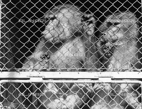 BVA-F-001427-0000 - Monkeys in cage