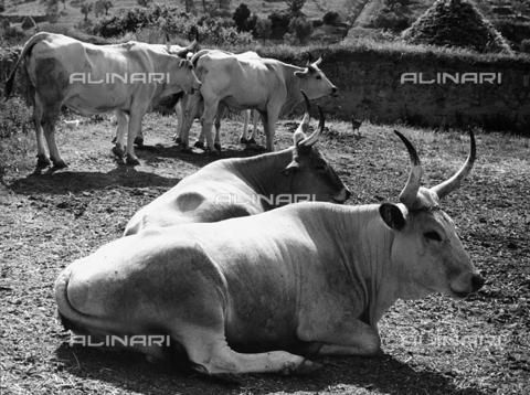 BVA-F-001669-0000 - Maremma cows in Sant'Antimo