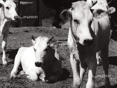 BVA-F-002533-0000 - Calves