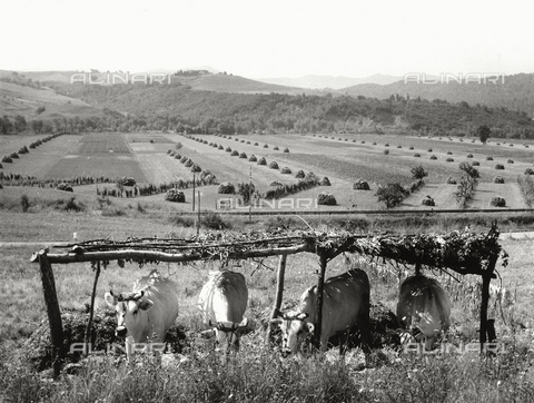 BVA-F-002545-0000 - Cows in the countryside of Volterra