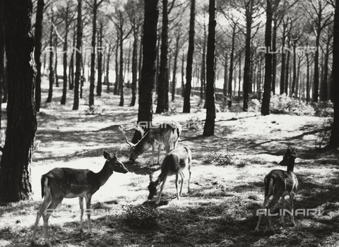 BVA-F-002643-0000 - Fawn and deer in the woods