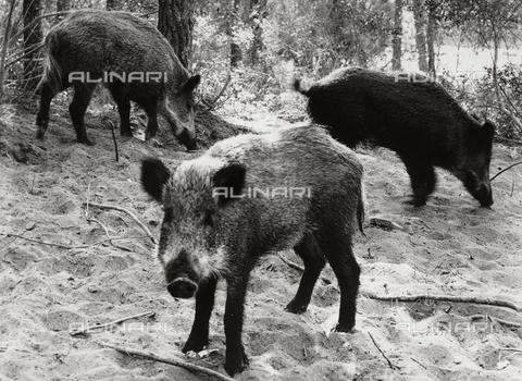 BVA-F-002701-0000 - Wild boar in Bolgheri