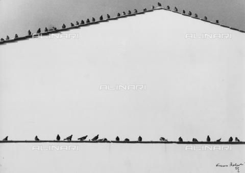 BVA-F-003867-0000 - Pigeons