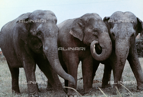BVA-F-004316-0000 - Three elephants